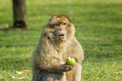 Barbary-Makaken, der einen Apfel im Gewann isst Lizenzfreie Stockbilder