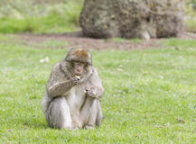 Barbary-Makaken, der einen Apfel isst Stockfotografie