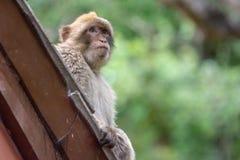 Barbary-Makaken Gibraltar Lizenzfreies Stockbild