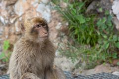 Barbary-Makaken Gibraltar Stockbild