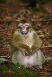 Barbary-Makaken Macaca sylvanus Stockfotos