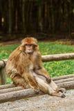 Barbary-Makaken Macaca sylvanus Stockbilder