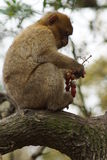 Barbary-Makaken - Macaca sylvanus Lizenzfreie Stockfotografie