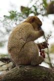 Barbary-Makaken - Macaca sylvanus Stockfotografie