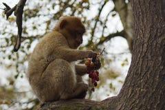 Barbary-Makaken - Macaca sylvanus Stockbild