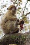 Barbary-Makaken - Macaca sylvanus Stockbilder