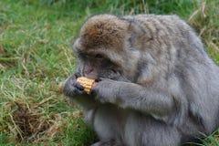 Barbary-Makaken - Macaca sylvanus Lizenzfreies Stockfoto