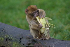 Barbary-Makaken - Macaca sylvanus Lizenzfreie Stockfotos