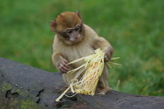 Barbary-Makaken - Macaca sylvanus Stockfotos