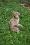 Barbary-Makaken Macaca sylvanus Lizenzfreies Stockbild