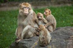 Barbary-Makaken Macaca sylvanus Lizenzfreie Stockfotos
