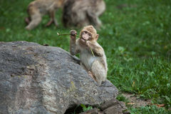 Barbary-Makaken Macaca sylvanus Lizenzfreie Stockfotografie
