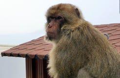 Barbary-Makaken Macaca sylvanus Affe Stockfotografie