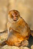 Barbary-Makaken, Macaca sylvanus, sitzend auf dem Felsen, Gibraltar, Spanien Lizenzfreie Stockfotos