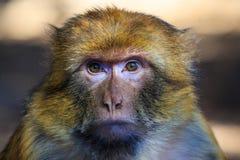 Barbary-Makaken oben gesehen im Abschluss Stockfotos