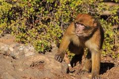 Barbary-Makaken oben gesehen im Abschluss Lizenzfreie Stockfotografie