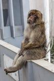 Barbary-Makaken oder -affe in Gibraltar Stockfotografie