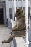 Barbary-Makaken oder -affe in Gibraltar Lizenzfreie Stockfotos