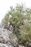 Barbary-Makaken oder -affen in Gibraltar Stockbild