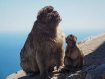 Barbary-Makaken oder Affen von Gibralter, Mutter mit Baby, Macaca sylvanus Stockbild