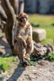 Barbary-Makaken sitzt mit seinen Füßen auf einer Niederlassung lizenzfreies stockbild