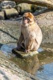Barbary-Makaken sitzt mit seinen Füßen im Wasser stockbilder