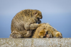Barbary-Makaken sucht nach Wanzen Stockbilder