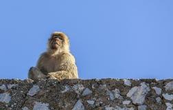 Barbary-Makaken von Gibraltar Stockfoto