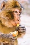 Barbary-Makakenaffe, der eine Tangerine, Ifrane, Marokko isst Stockbilder