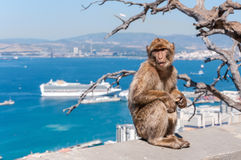 Barbary-Makakenaffe in Gibraltar Stockfotos