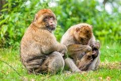 Barbary-Makakenerwachsene, die Kind pflegen Stockfotografie