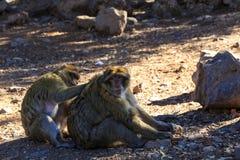 Barbary-Makakenpaare, die aus den Grund sitzen Lizenzfreies Stockfoto