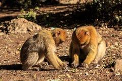 Barbary-Makakenpaare, die aus den Grund sitzen Lizenzfreie Stockfotografie