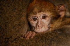 Barbary małpa w cedrowy drewniany pobliskim (Macaca sylvanus) Fotografia Stock