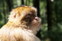 Barbary Monkey Royalty Free Stock Images