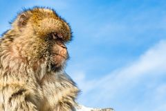 Barbary monkey in Gibraltar. Monkey head of one of the monkeys from the the population of Barbary macaque monkeys in Gibraltar on a clear blue sky background stock image
