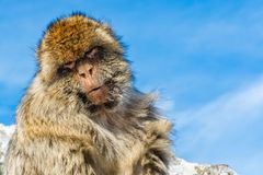 Barbary monkey in Gibraltar. Monkey head of one of the monkeys from the the population of Barbary macaque monkeys in Gibraltar stock image