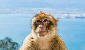 Barbary monkey head. Monkey head of one of the monkeys from the the population of Barbary monkeys in Gibraltar royalty free stock photos
