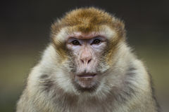 Barbary monkey Stock Image