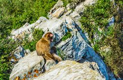 Barbary monkey roaring on a rock. One of the monkeys from the the population of Barbary monkeys in Gibraltar roaring while seating on a rock stock photography