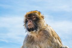 Barbary monkeys in Gibraltar. Monkey head of one of the monkeys from the the population of Barbary monkeys in Gibraltar stock images