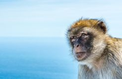 Barbary monkeys in Gibraltar. Monkey head of one of the monkeys from the the population of Barbary monkeys in Gibraltar stock photo