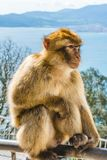 Barbary monkeys in Gibraltar. One of the monkeys from the the population of Barbary monkeys in Gibraltar stock photography