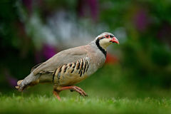 Barbary partridge, Alectoris barbara, bird in the green grass with blurred violet flower at the background, animal in the nature h Stock Images