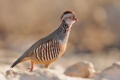 Barbary Partridge - Alectoris barbara Royalty Free Stock Photo