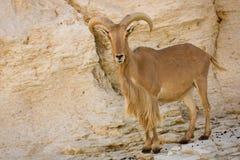 Barbary-Schafe Stockfoto