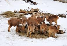 Barbary-Schafe Stockfotografie
