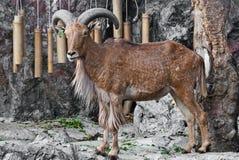Barbary-Schafe Stockbild