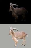 Barbary-Schafe in der Dunkelheit lizenzfreie stockbilder