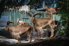 Barbary-Schafe in einem Zoo Lizenzfreie Stockfotografie
